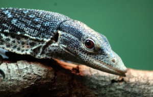 Blue Spotted Tree Monitor Widescreen