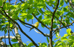 Blue Winged Warbler High Definition Wallpapers