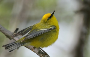 Blue Winged Warbler Photos