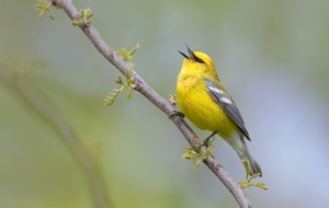 Blue Winged Warbler Pictures
