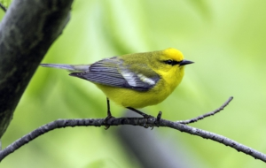 Blue Winged Warbler Wallpaper