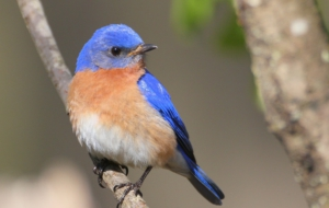 Bluebird Photos