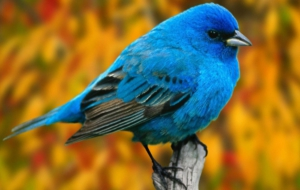 Bluebird Wallpaper