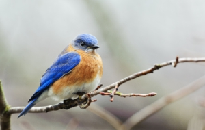 Bluebird For Desktop