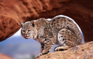 Bobcat HD Wallpaper