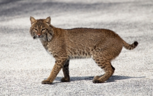 Bobcat High Definition
