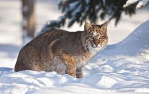 Bobcat High Definition Wallpapers