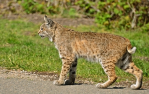 Bobcat For Desktop