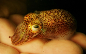 Bobtail Squid High Quality Wallpapers