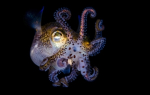 Bobtail Squid Wallpapers HD