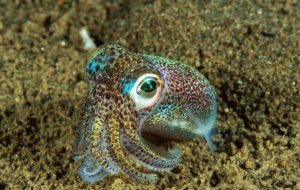 Bobtail Squid Widescreen