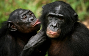 Bonobo High Definition Wallpapers