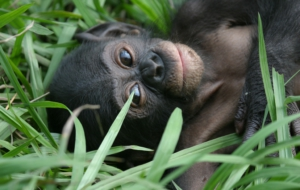 Bonobo High Quality Wallpapers