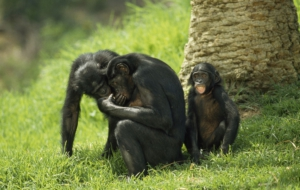 Bonobo Full HD