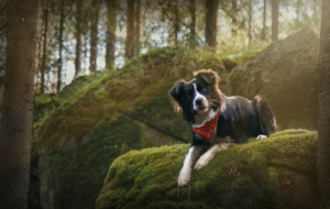 Border Collie 7672
