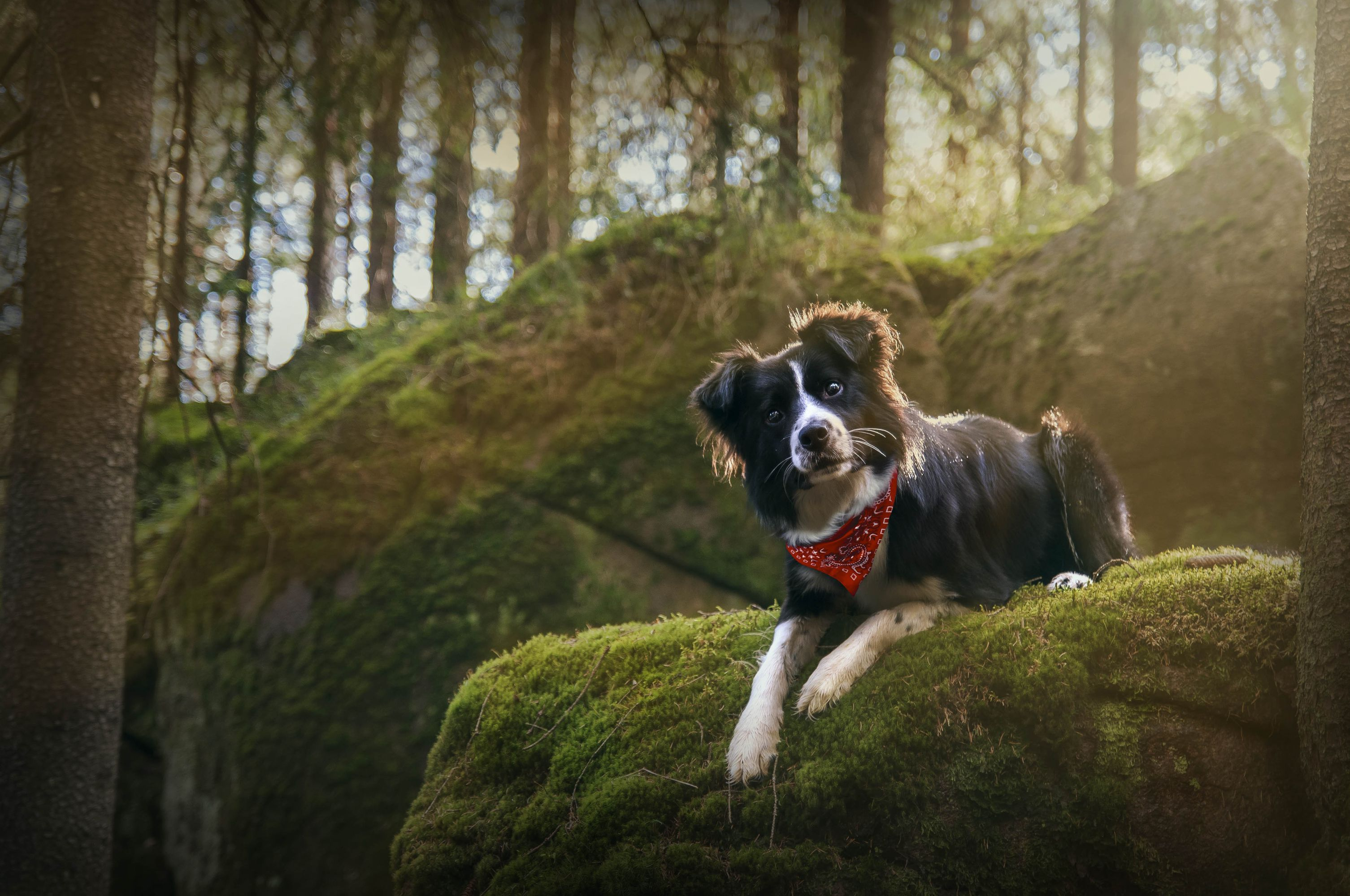 Border Collie Wallpapers Backgrounds