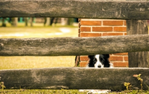 Border Collie Computer Backgrounds