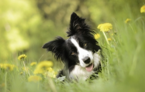Border Collie Desktop Images