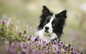 Border Collie Download