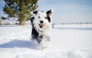 Border Collie Download Free Backgrounds HD