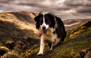 Border Collie HD Desktop