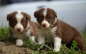 Border Collie High Definition Wallpapers