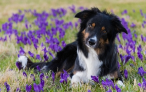 Border Collie For PC