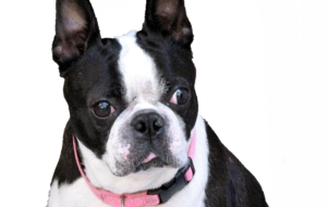 Boston Terrier Background