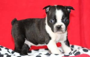 Boston Terrier HD