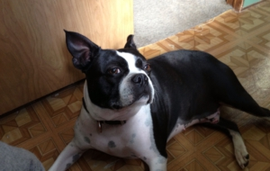 Boston Terrier HD Wallpaper