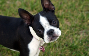 Boston Terrier Images