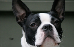 Boston Terrier Wallpapers HD