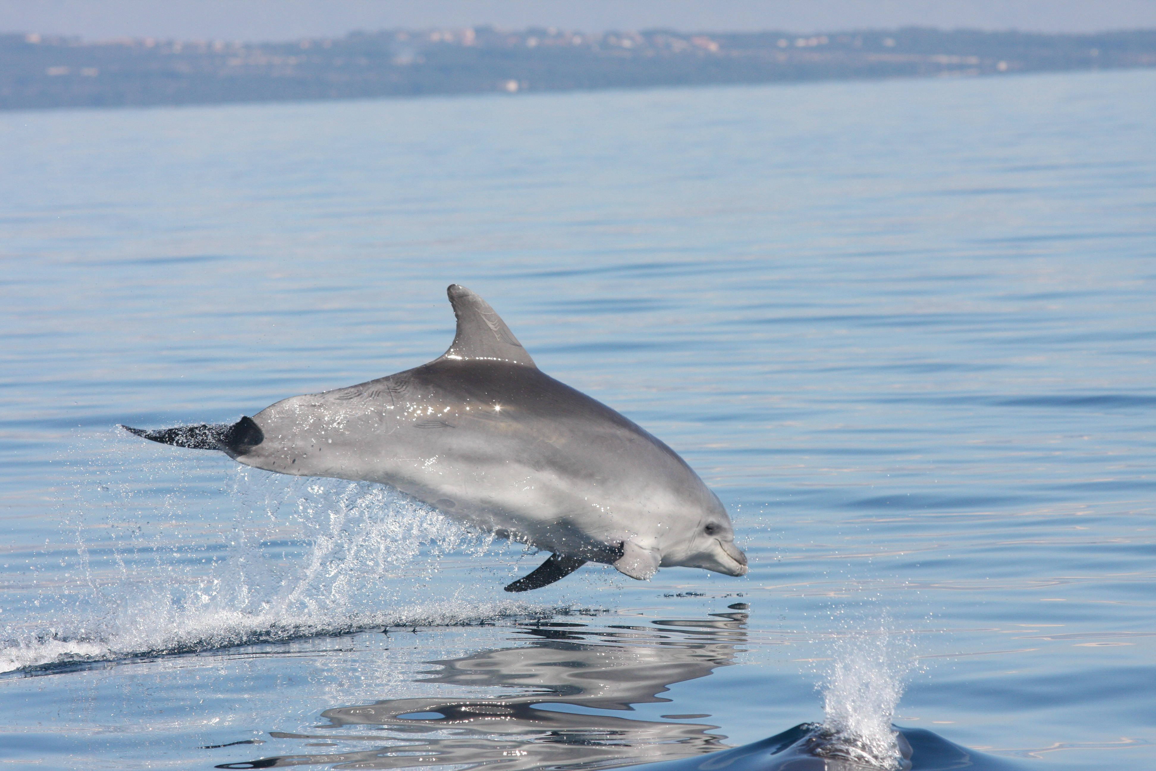 bottlenose dolphin research paper 10 facts about bottlenose dolphins where do bottlenose dolphins live how do they breathe what do they eat find out all about this marine mammal here.
