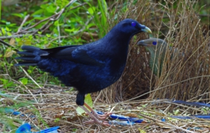 Bowerbird High Definition Wallpapers
