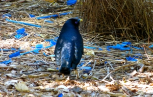 Bowerbird Pictures