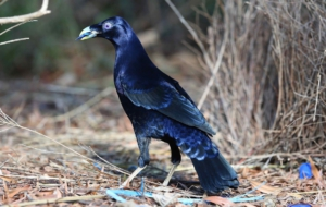 Bowerbird Wallpapers