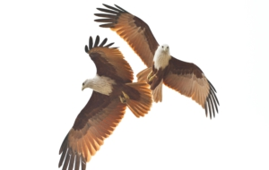 Brahminy Kite High Quality Wallpapers