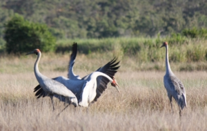 Brolga Photos