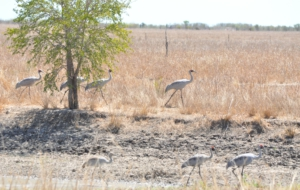 Brolga Wallpapers