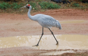 Brolga Widescreen