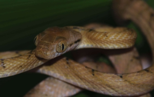 Brown Tree Snake HD Wallpaper