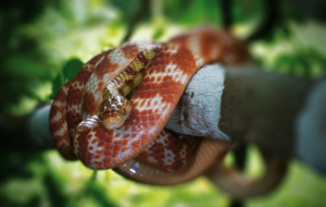 Brown Tree Snake Photos