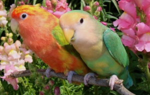 Budgerigar Background