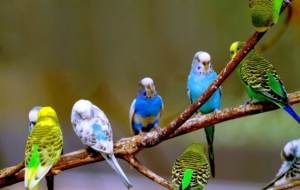 Budgerigar Computer Wallpaper