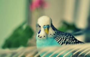 Budgerigar HD Wallpaper