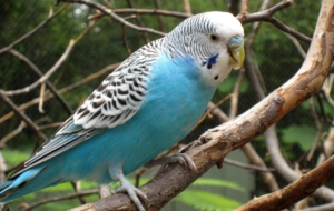 Budgerigar High Definition Wallpapers