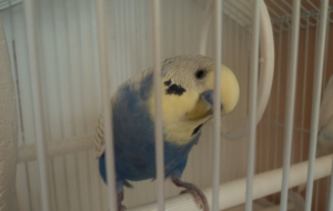 Budgerigar High Quality Wallpapers