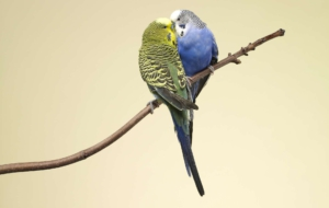 Budgerigar Photos