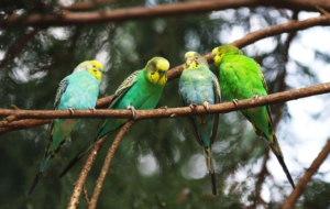 Budgerigar Wallpapers