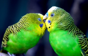 Budgerigar Wallpapers HD